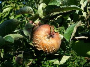 fruchtmonilia
